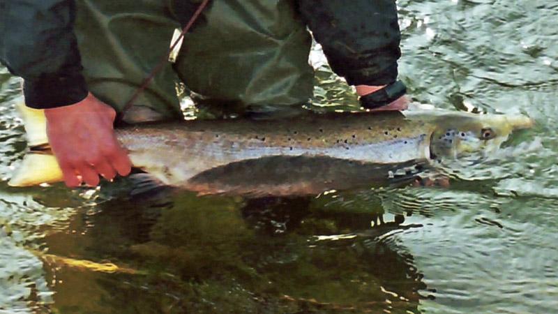 salmon landed Belper AC Derbyshire River Derwent