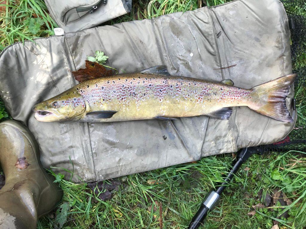 Derbyshire Derwent Salmon caught at Belper - river Derwent game fish
