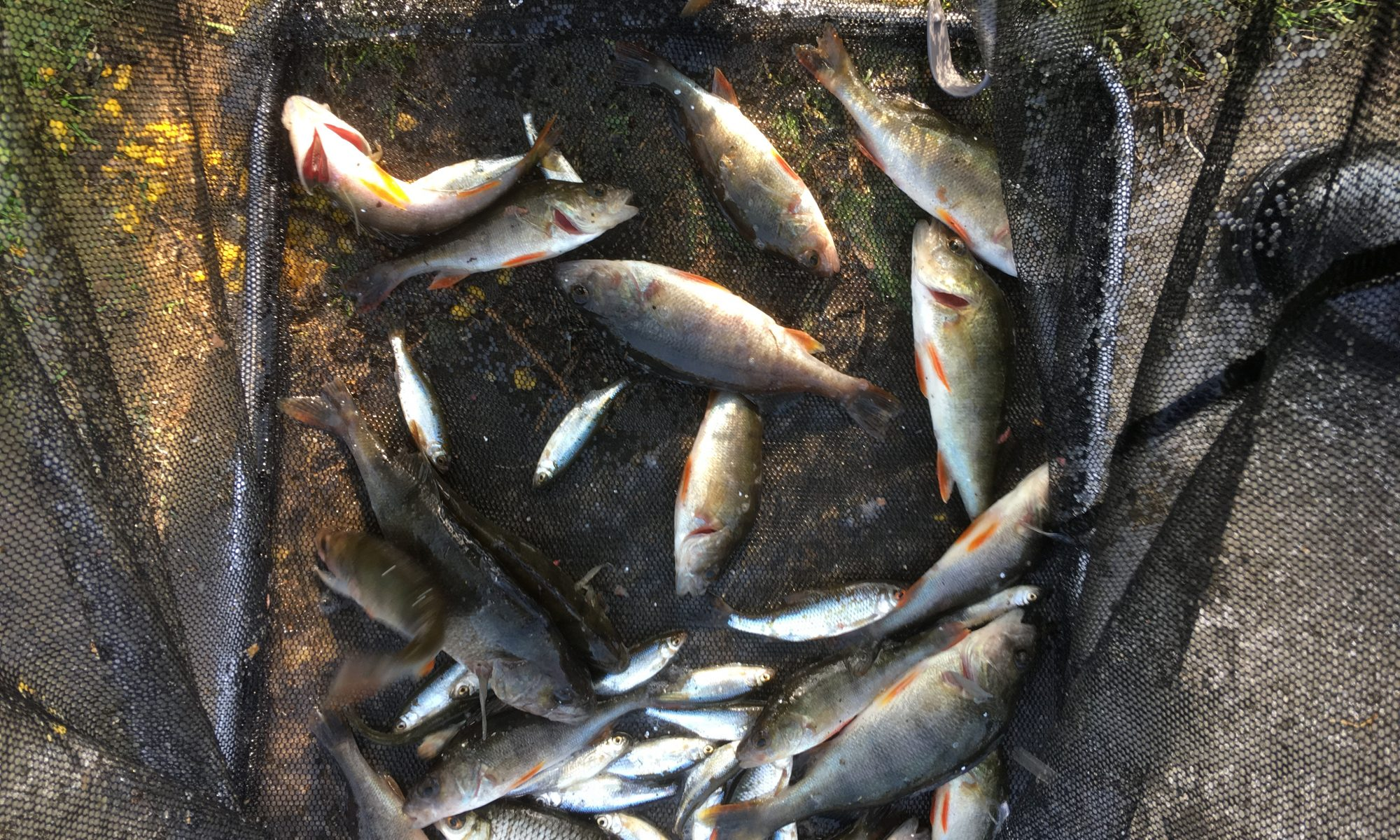 Mixed net of roach & perch caught from Wyver Lane Pond, Belper